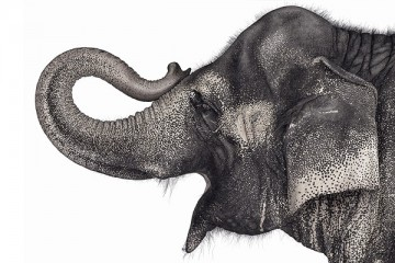 Elephant side profile